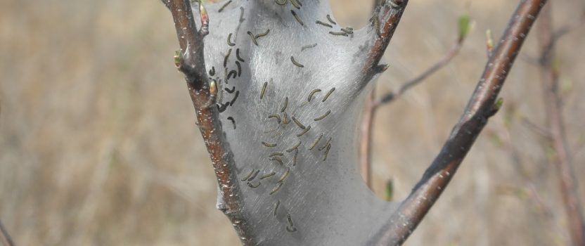 Info Bulletin: Eastern Tent Caterpillar