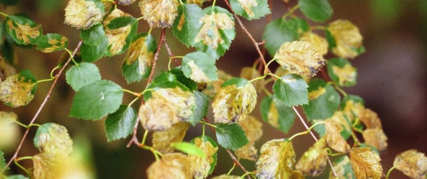 Birch leafminer treatment now available in Ontario