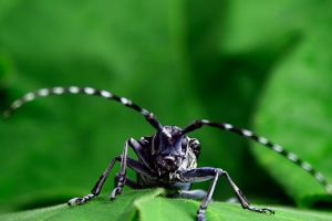 Asian long-horned beetle eradicated from Canada