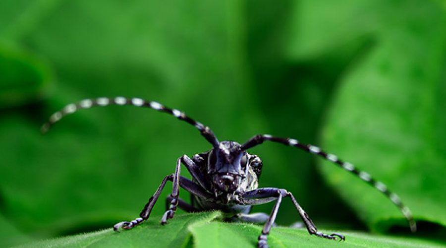 Asian long-horned beetle back in Canada