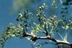 Honeylocust Plant Bug