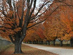 Large Trees During Fall Season
