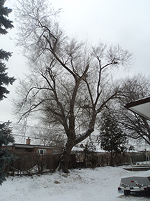 A tree in winter in a backyard