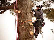 Arborist Climbing Tree For Inspection in a Markham Neighbourhood