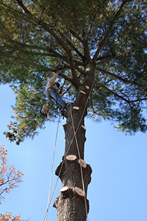 A tree surgeon working up high in a tall tree in Richmond Hill