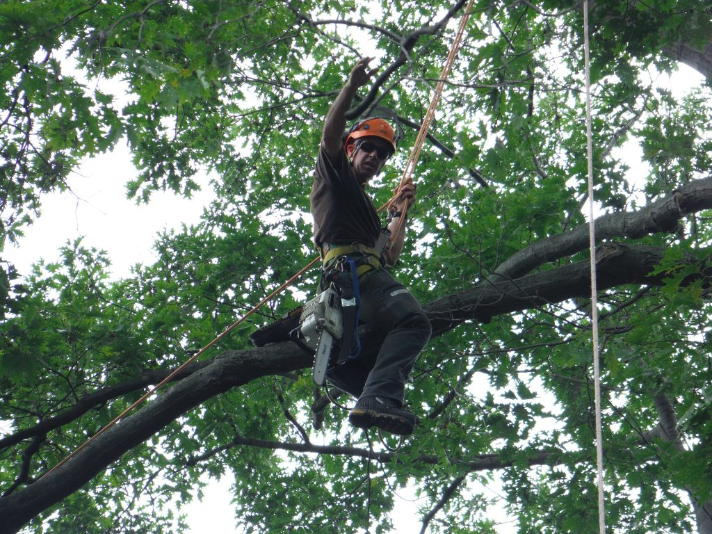 Certified Arborist on a Tree for Inspection