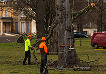 Tree surgeons at work in Thornhill