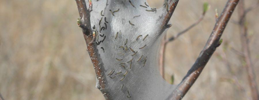Info Bulletin: Eastern Tent Caterpillar