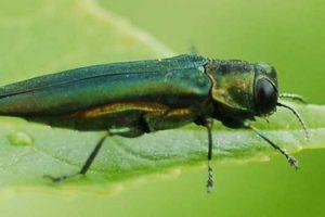 Info bulletin: emerald ash borer