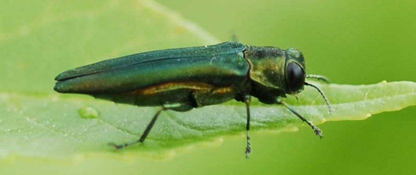 The Toronto emerald ash borer crisis