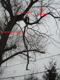 A tree with deadwood, hanging limbs and stubs