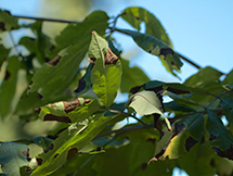 Sick Leaves