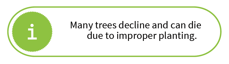 Many trees decline and can die due to improper planting.