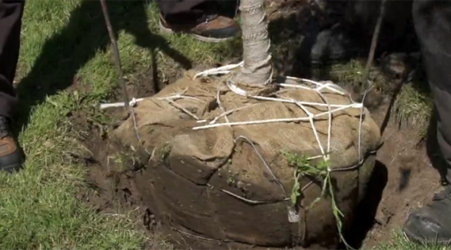 Tree planting and replacement